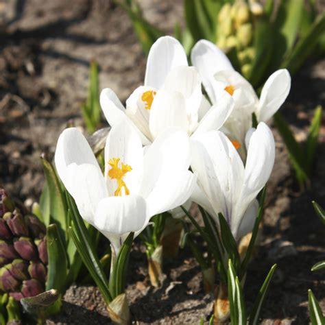 Crocus Plante Vivace Ou Annuelle by Plante 224 Fleurs Blanches Liste Ooreka