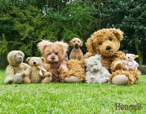 goldendoodle teddy bear cut the gallery for gt goldendoodle teddy bear cut