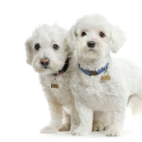 alimentazione cani taglia media allevamento maltese cani taglia piccola maltese come