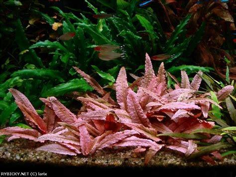 cryptocoryne aquascape cryptocoryne flamingo cryptocoryne and anubias