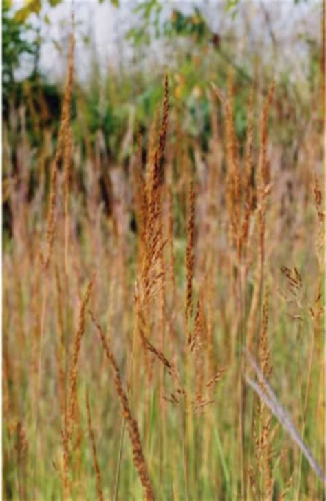 Yellow Indiangrass (Sorghastrum nutans) Seed for Sale