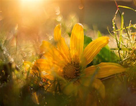 wallpaper kuning bunga liar flora sinar matahari
