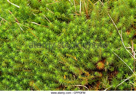 Sphagnum Moss sphagnum moss stock photos sphagnum moss stock images alamy
