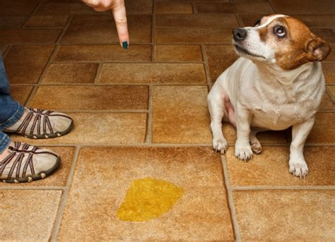 one year old dog peeing in the house urinary tract infection lower bacterial in dogs petmd