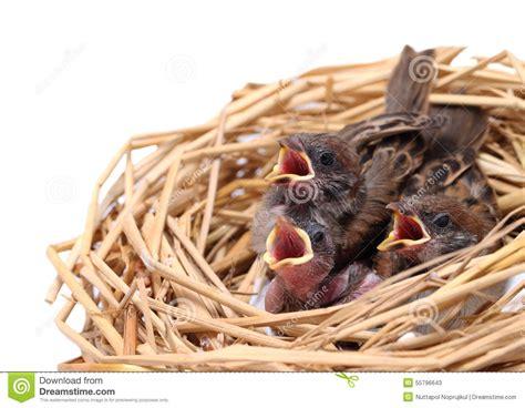 alimentazione passero pulcini passero aspettano per essere alimentato