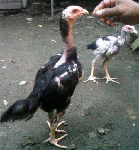 ternak ayam bangkok berkwalitas  pacekan  jual anakan ayam bangkok