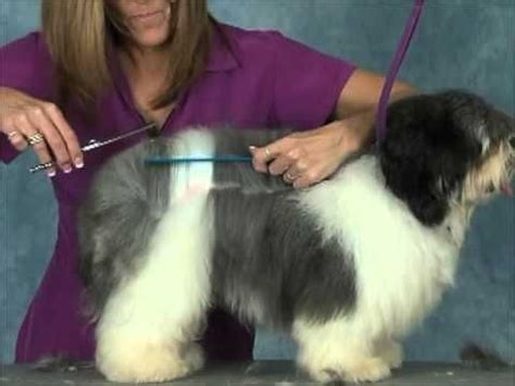 havanese grooming tips the 25 best havanese grooming ideas on havanese haircuts havanese and