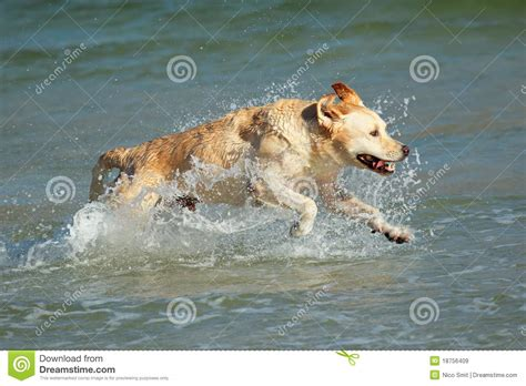 running golden retriever running golden retriever royalty free stock images image 18756409