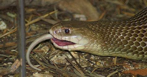 Garter Snake Eat Mice Snakes Snakes Mice