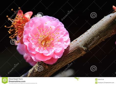 lunar new year flower plum blossom stock photo image 39543138