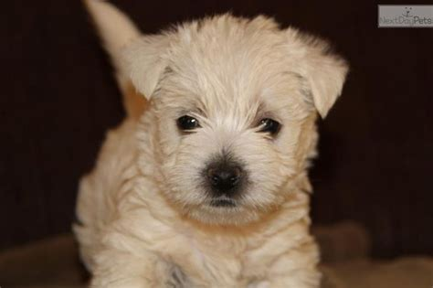puppies for sale st joseph mo best 25 westie puppies for sale ideas on apple chihuahua apple