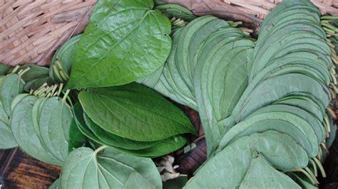 manfaat daun sirih  seringkali dianggap remeh