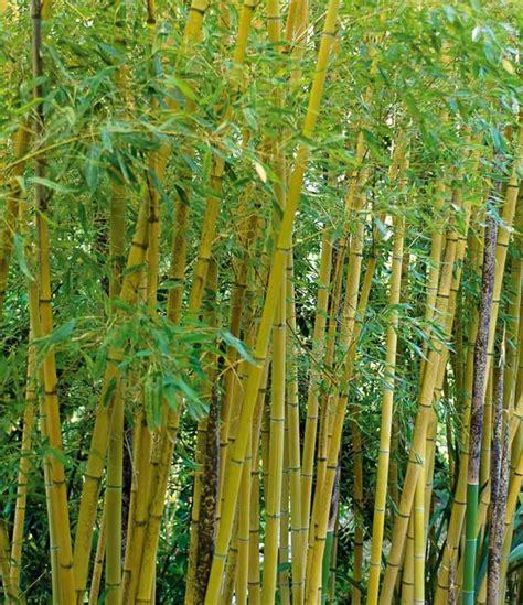 phyllostachys aurea fish pole bamboo