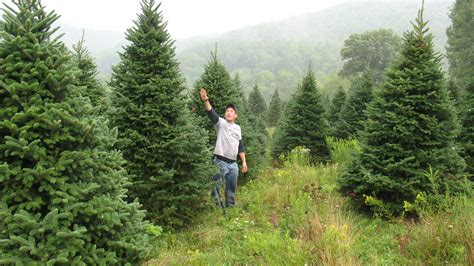 christmas tree photos large fraser field north pole xmas