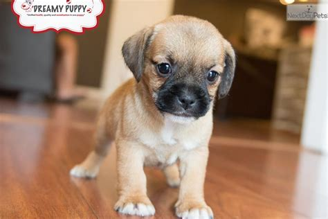 pictures of puggle puppies puggle puppy for sale near washington dc 8ffdc79d dae1