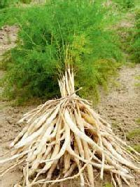 Garden Nursery Bijwasan Shatavari Plant Manufacturers Suppliers Exporters In