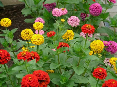 marigolds shade zinnias how to plant grow and care for zinnia flowers the old farmer s almanac