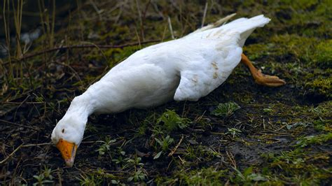 dead goose   garden   proprietor