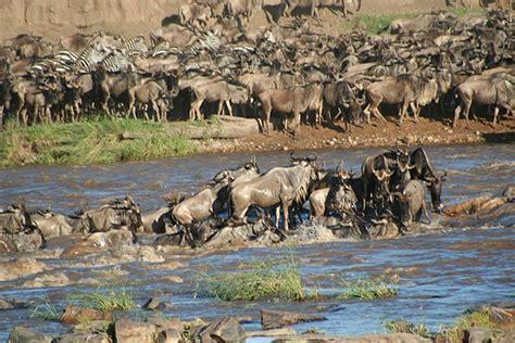 0008127433 the crossing place a journey պատկեր wildebeest crossing river stefan swanepoel jpg