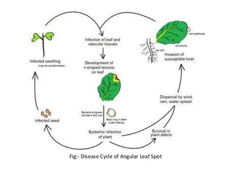 Disease Caused By Bacteria In Plants - diseases of cotton