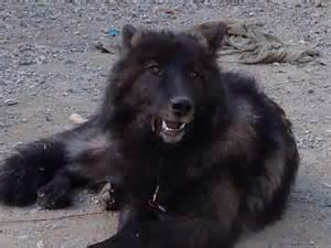 arctic wolf puppies arctic wolf hybrid puppies