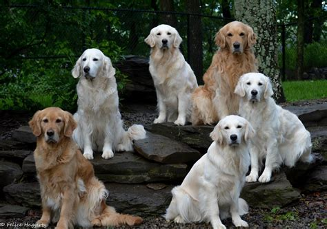 golden retrievers in pa golden retriever breeders in northeast pa