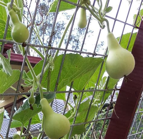 Rare High Yielding Small Asian Bottle Gourd Long Melon