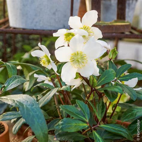 fiori perenni per bordure elleboro rosa di natale piante perenni per bordure