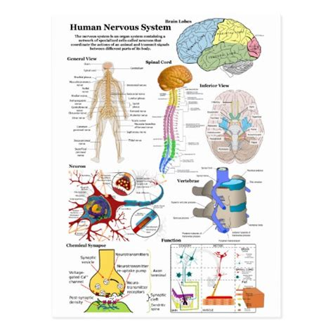 central nervous system diagram human nervous system chart
