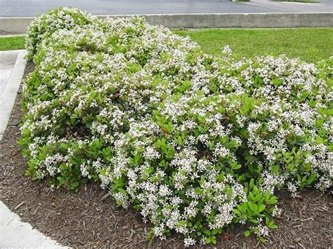 indian flowering shrubs plantfiles pictures indian hawthorn india hawthorn