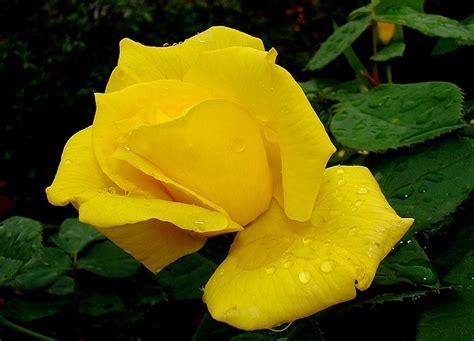 imagenes rojas y amarillas significado de las rosas florpedia com
