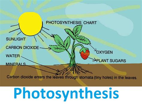 biography definition in biology photosynthesis tellmewhyfacts com science