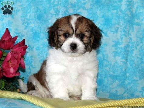 cavachon puppies for sale in pa timmy cavachon puppy for sale from quarryville pa animals puppys