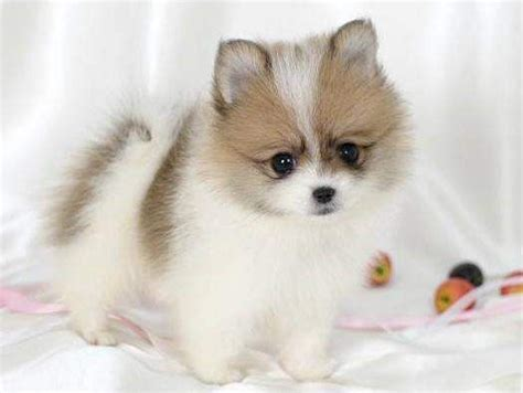 mini teacup pomeranian puppies best 25 teacup pomeranian husky ideas on pomeranian husky puppies teacup