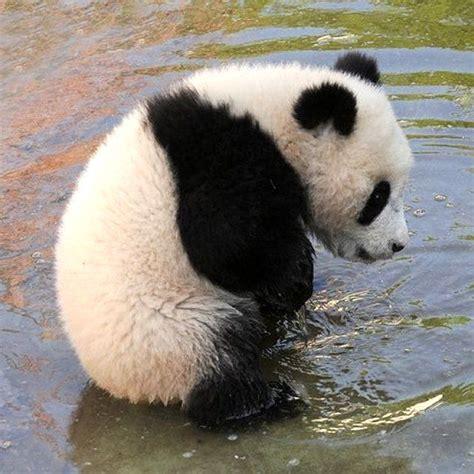 Baby Panda One 17 best ideas about baby pandas on baby panda