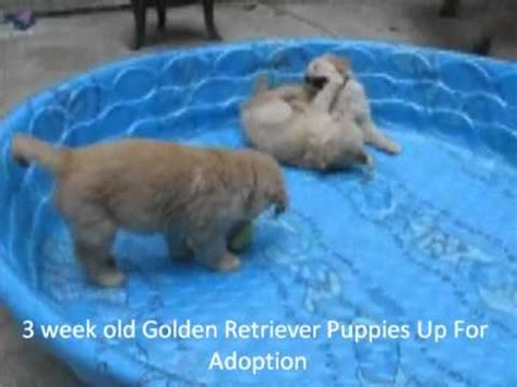 puppy golden retriever for adoption golden retriever mix puppy for adoption 2 months tiger funnydog tv