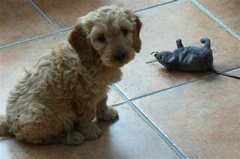rosedale doodles puppies for sale beautiful f1 apricot cockapoo puppies for sale