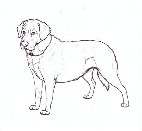 how to labrador in how to draw labradors