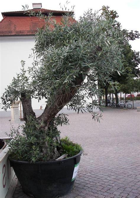 olivenbaum im garten olivenb 228 ume im garten und freiland 252 berwintern 06