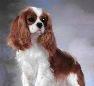 king charles cavalier puppies for sale near me cavalier king charles spaniels breeder san diego california puppies for sale