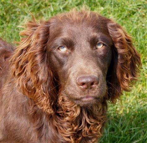 Boykin Spaniel Puppies For Sale Picture And Images