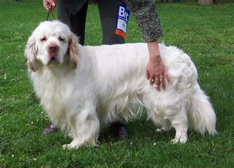 clumber spaniel puppies clumber spaniel info temperament puppies pictures