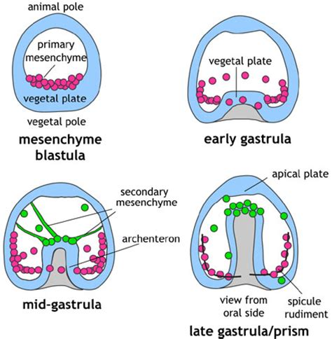 blastula diagram platyhelminthes flatworms and plans skeptical squirrel