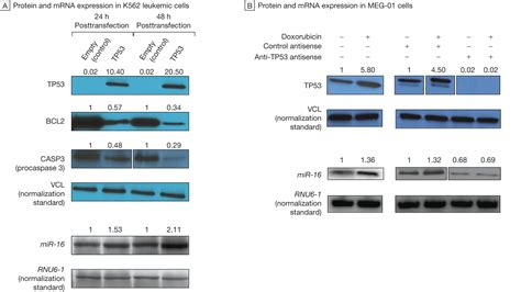 protein 24 hour calculated association of a microrna tp53 feedback circuitry with