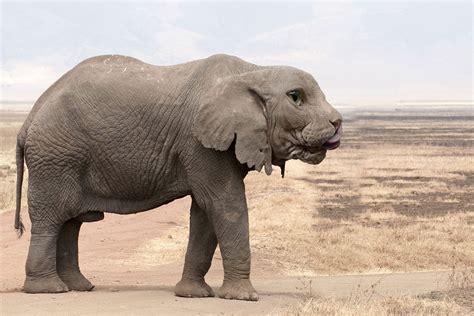 imagenes reales wikipedia 20 fotos de animales h 237 bridos de mezclas distintas
