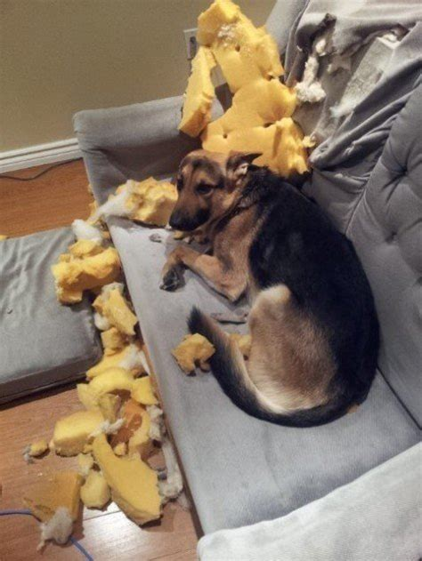 how do you say couch in german 13 guilty dogs who claim they have no idea how that mess