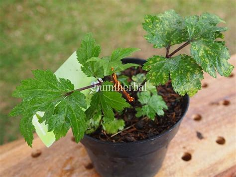 Bibit Oregano bibit herbal bumi herbal dago