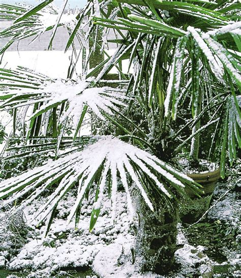 Baldur Garten Winterharte Pflanzen by Winterharte K 252 Bel Palme Bei Baldur Garten