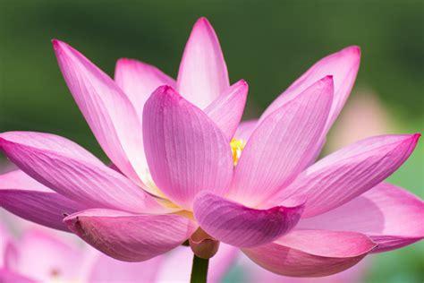 lotus flower images free downloads lotus flower free stock photos in jpg format for free