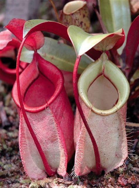 gambar tumbuhan langka tanaman langka  gratis